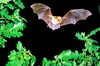 Greater mouse-eared bat (Myotis myotis)