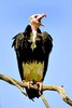 White-headed vulture (Trigonoceps occipitalis)