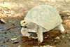 Red-footed tortoise (Geochelone carbonaria)