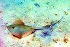 Bluntnose stingray (Dasyatis say)