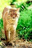 Asian golden cat (Felis temminckii)