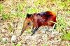 Golden-rumped elephant-shrew (Rhynchocyon chrysopygus)