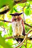 Barred eagle owl (Bubo sumatranus)