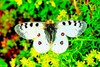 Small Apollo butterfly (Parnassius phoebus)