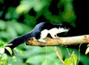 Black giant squirrel (Ratufa bicolor)