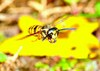Eastern yellowjacket (Vespula maculifrons)