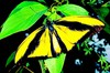 Goliath birdwing (Ornithoptera goliath)