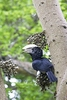 Silvery-cheeked hornbill (Bycanistes brevis)