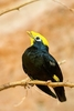 Golden-crested mynah (Ampeliceps coronatus)