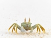 Horned ghost crab (Ocypode ceratophthalma)