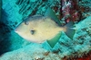 Grey triggerfish (Balistes capriscus)