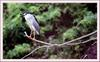 해오라기 | 해오라기 Nycticorax nycticorax (Black-crowned Night Heron)