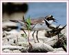 꼬마물떼새 | 꼬마물떼새 Charadrius dubius curonicus (Little Ringed Plover)
