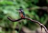 물총새 | 물총새 Alcedo atthis bengalensis (Common Kingfisher)