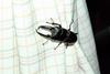 넓적사슴벌레 Serrognathus platymelus (Korean Long-fanged Stag Beetle)