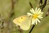 노랑나비 Colias erate (Eastern Pale Clouded Yellow)