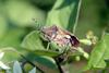 알락수염노린재 Dolycoris baccarum (Sloe Shieldbug)