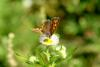 작은주홍부전나비 Lycaena phlaeas (Small Copper Butterfly)