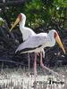 Yellow-billed Stork pair (Mycteria ibis)