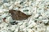 뿔나비 Libythea celtis (Nettle-tree Butterfly)