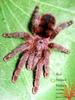 Red Striped Pinktoe (Avicularia minatrix)