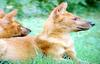 인도승냥이 Cuon alpinus dukhunensis (Indian Dhole)