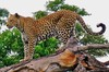 African Animals: Leopard
