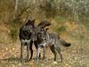 Black Wolves (Canis lupus)