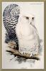 [Animal Art - Edward Lear] Snowy Owl (Nyctea scandiaca)