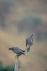 Band-tailed Pigeon (Columba fasciata)