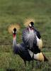 Grey Crowned-crane pair (Balearica regulorum)
