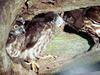 일본솔부엉이 Ninox scutulata (Brown Hawk Owl, Japan)