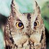 일본의 큰소쩍새 Otus bakkamoena (Collared Scops Owl, Japan)