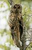 일본칡부엉이 Asio otus (Long-eared Owl, Japan)