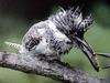 일본 뿔호반새 Megaceryle lugubris (Greater Pied Kingfisher, Japan)