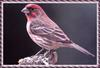 [zFox Bird Series B1] Backyard Birds - House Finch