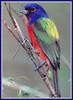 [zFox Bird Series B1] Backyard Birds - Painted Bunting
