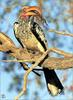 [Lotus Visions SWD] Yellow-billed Hornbill, Kalahari