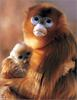 [Lotus Visions SWD] Golden Snub-nosed Monkey mother and infant, China