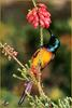 [Sharper SWD Visions] Orange-breasted Sunbird (Nectarinia violacea)