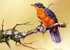 [Flowerchild scan] Eric Shepherd - 2002 Australian Birds Calendar - Chestnut-breasted Cuckoo
