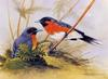 ...[Flowerchild scan] Eric Shepherd - 2002 Australian Birds Calendar - Spectacled Monarch (Monarcha