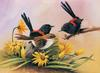 [Flowerchild scan] Eric Shepherd - 2002 Australian Birds Calendar - Red-backed Wren
