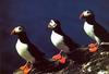 [Wrath Wildlife Calendar] Atlantic Puffins