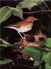 [Birds of North America] Wood Thrush