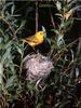 [Birds of North America] Yellow Warbler