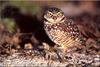 [Birds of North America] Burrowing Owl