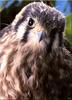 [Birds of North America] Kestrel Falcon (Female Fledgling)