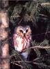 [Birds of North America] Northern Saw-whet Owl