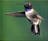 [Birds of North America] Black-chinned Hummingbird